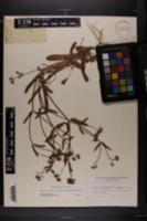 Valerianella locusta image