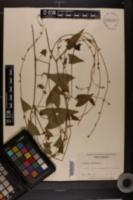 Polygonum convolvulus image