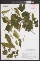 Tilia mongolica image