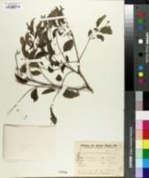 Diplokeleba floribunda image