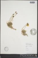 Papaver alaskanum image