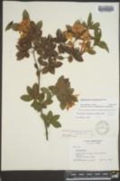Rhododendron cumberlandense image
