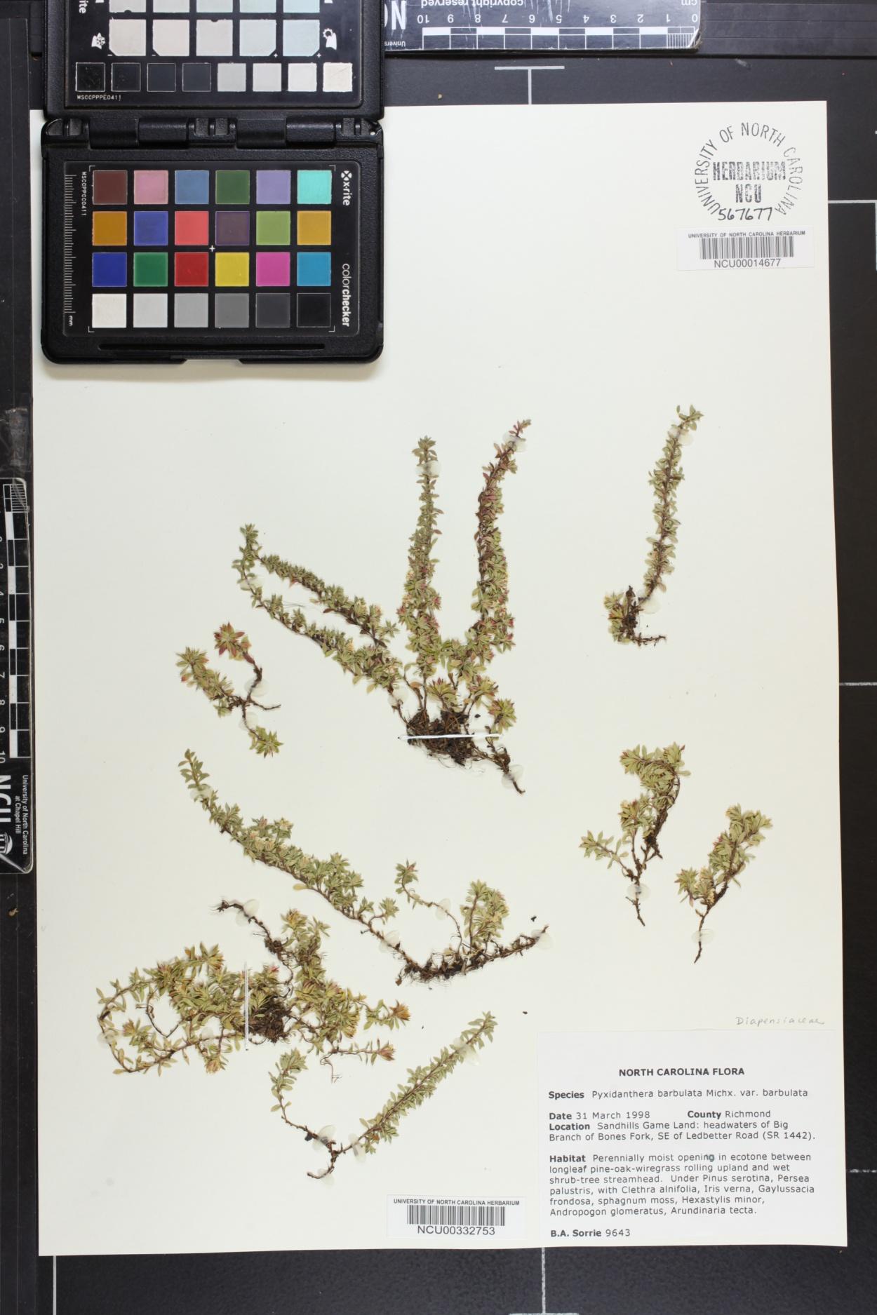 Pyxidanthera image
