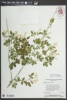 Jasminum floridum image