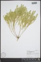 Lepidium densiflorum var. macrocarpum image