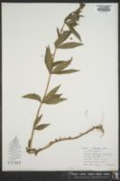 Lysimachia quadrifolia image