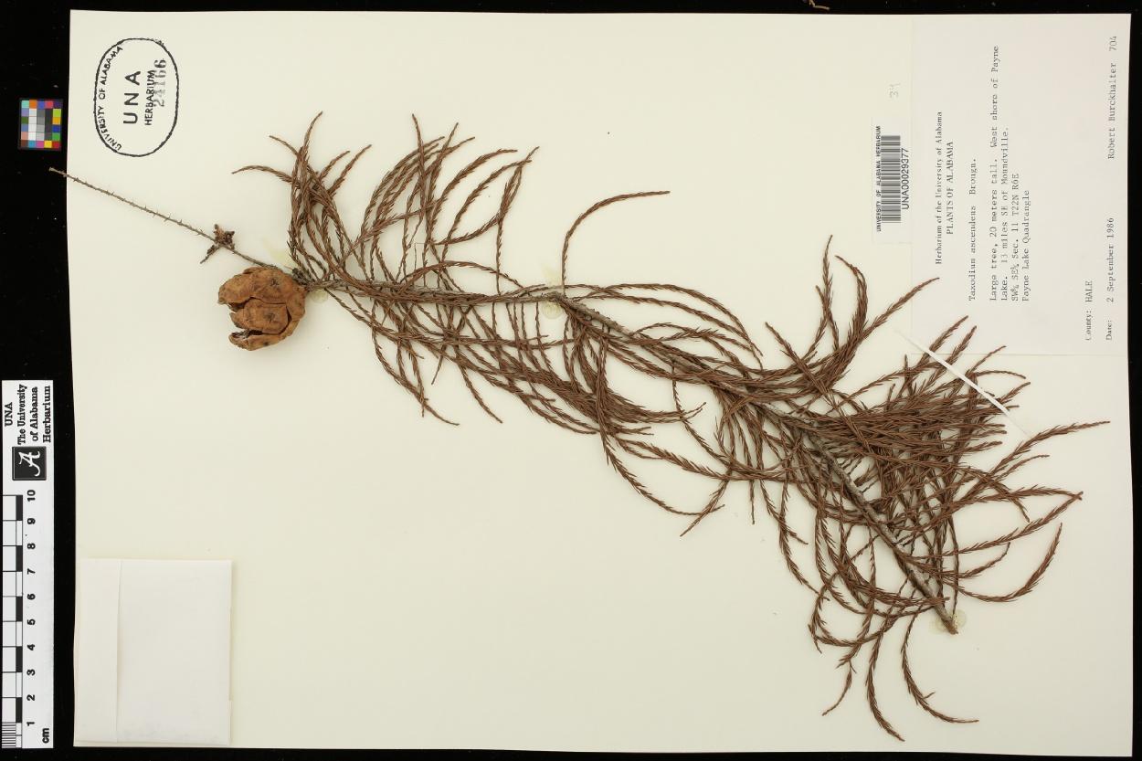 Taxodium distichum var. imbricarium image