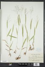 Dichanthelium boreale image