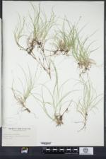 Carex disperma image