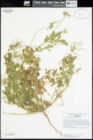 Erodium moschatum image