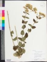Image of Eupatorium rotundifolium