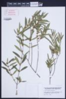 Phillyrea angustifolia image