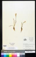 Nothoscordum bivalve image