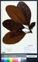 Image of Clusia alata