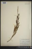 Image of Verbena angustifolia