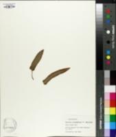 Image of Phyllitis scolopendrium