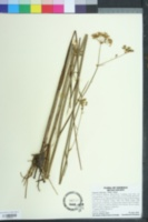 Tiedemannia filiformis image
