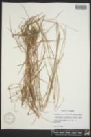 Schizachyrium sanguineum var. hirtiflorum image