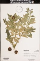 Image of Solanum capsicastrum