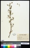 Image of Mimosa hamata