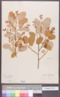 Amelanchier botryapium image
