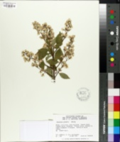 Image of Deutzia glauca