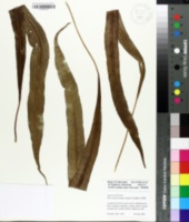 Image of Lepisorus bicolor