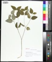 Image of Euphorbia mercurialina