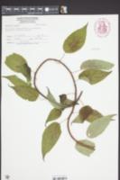 Image of Actinidia arguta