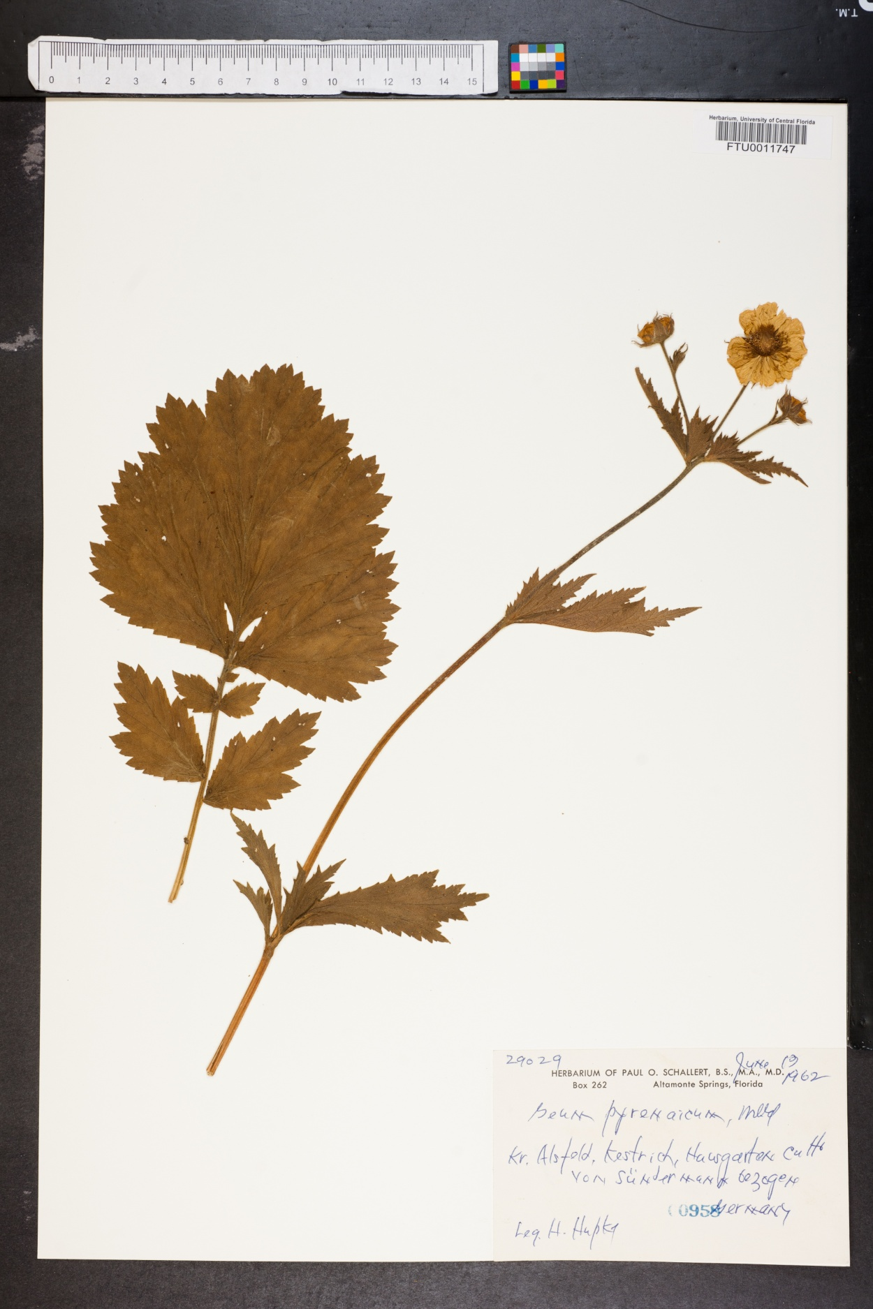 Geum pyrenaicum image