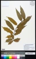 Image of Quercus acutifolia