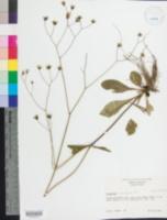Image of Hieracium x marianum