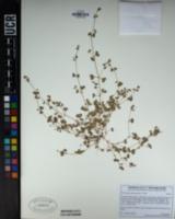 Pterostegia drymarioides image