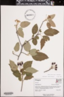 Image of Malus fusca