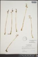 Corallorhiza odontorhiza image