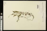 Image of Lycopus angustifolius