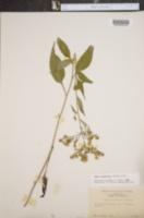 Image of Aster urophyllus