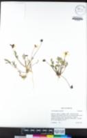 Viola douglasii image