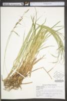 Carex torta image