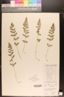 Image of Cystopteris dickieana