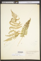 Image of Polypodium virginianum
