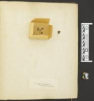 Agaricus scyphoides image