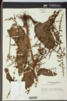 Rumex conglomeratus image