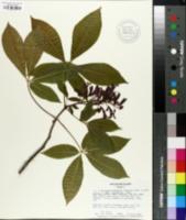 Image of Aesculus x mutabilis