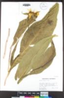 Image of Wyethia glabra