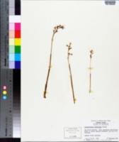 Corallorhiza wisteriana image