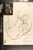 Orthosia scoparia image