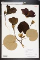 Talipariti tiliaceum image