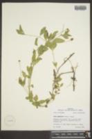 Phyla lanceolata image