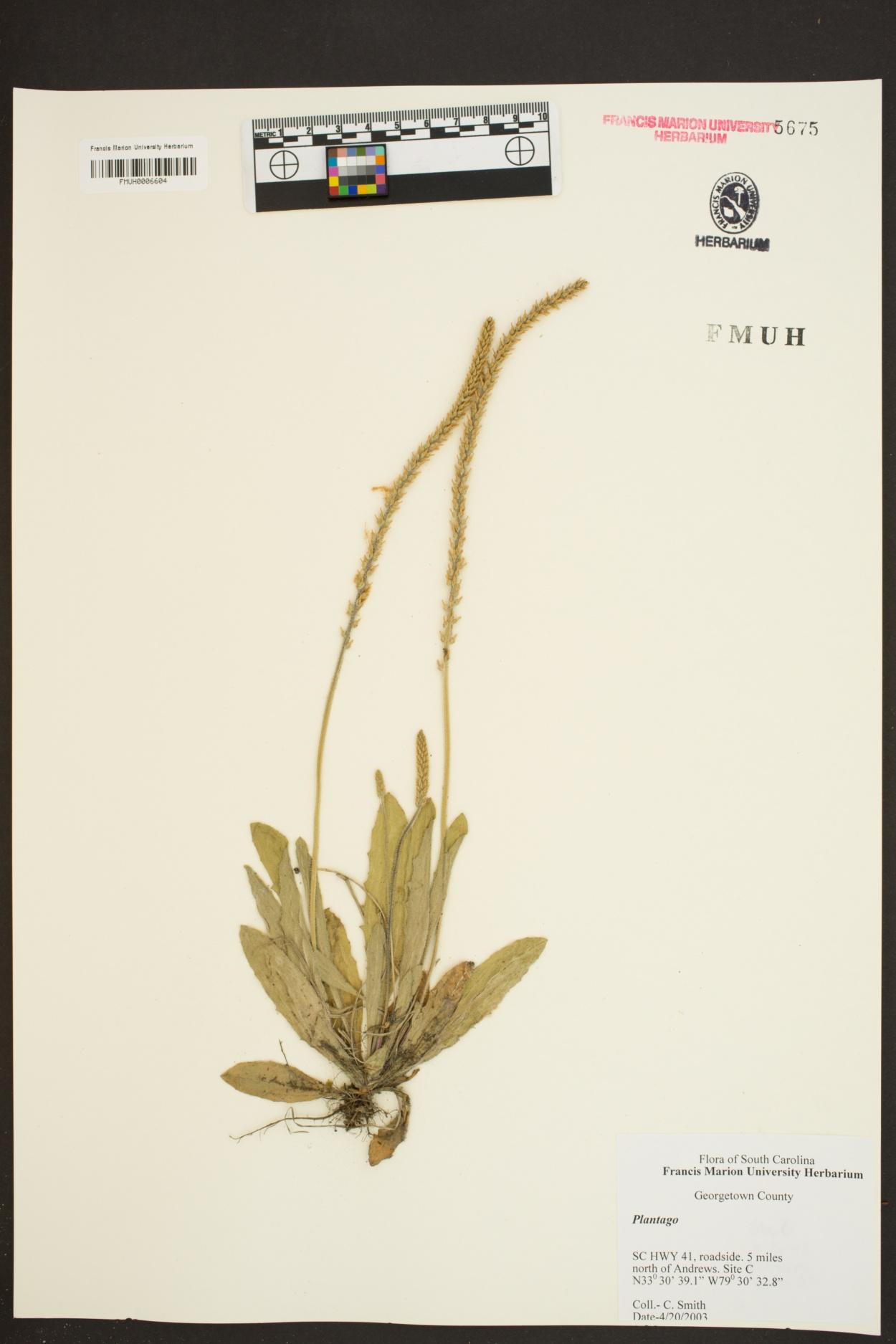 Plantago image